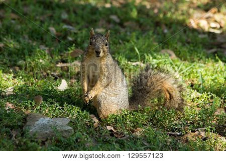 Squirrel holding front paws together and begging