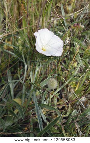 Convolvulus oleifolius A White Mediterranean Bindweed Flower