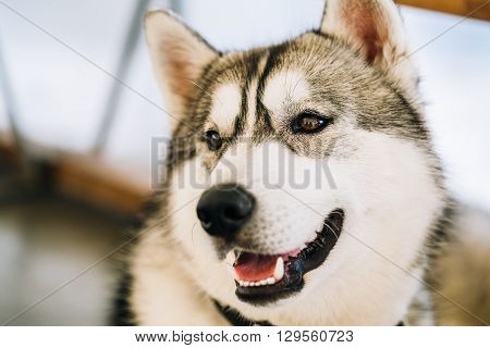 Gray Adult Siberian Husky Dog close up portrait.