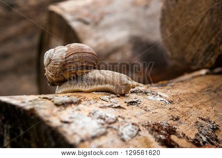 Helix Pomatia, Common Names The Burgundy Snail, Roman Snail, Edible Snail Crawling On The Trunk Tree