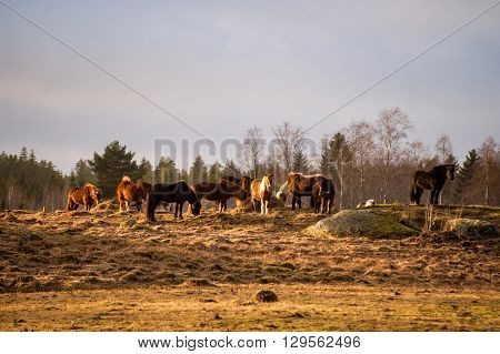 Herd of Icelandic horses grazing on pasture in sunshine