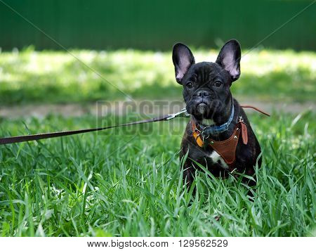 French bulldog puppy for a walk. Black dog sitting in the high green grass. On the dog collar, leash and harness