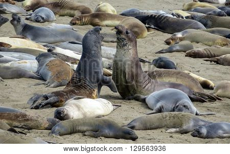 Elephant seals sleeping and relaxing on a beach