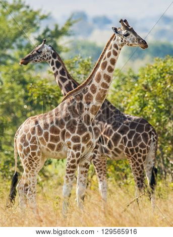 Under A Shining Sun Two Giraffes Stand At A Tree With The Crossed Long Necks. Rothschild Giraffes  (