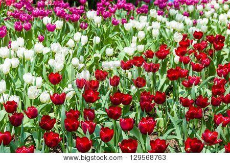 Colorful Tulip In Field
