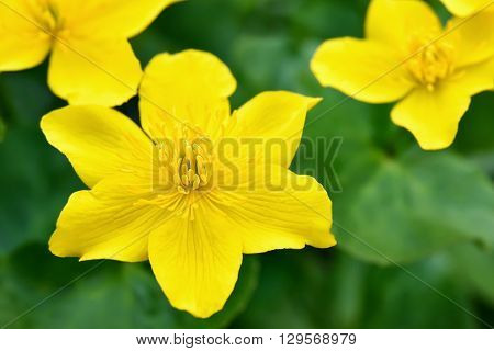 Marsh Marigold (Caltha palustris) flowers close up view