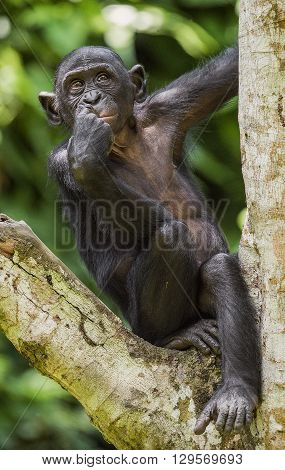 The Portrait Of  Juvenile Bonobo On The Tree In Natural Habitat. Green Natural Background. The Bonob