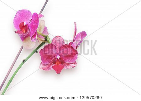 Macro shot of pink orchid isolated on white