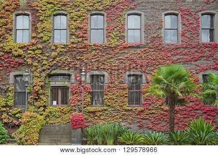 Climbing plant, Ivy red leaves on the wall at Victoria Barracks, historical building in Melbourne Victoria, Australia during Autumn