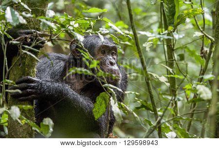 Close Up Portrait Of Chimpanzee ( Pan Troglodytes ) Resting In The Jungle.