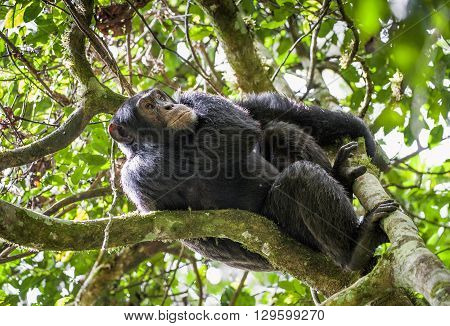 Close Up Portrait Of Chimpanzee ( Pan Troglodytes ) Resting  On The Tree In The Jungle