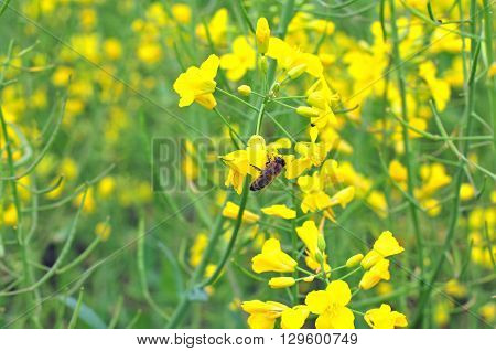 Bee collecting pollen from yellow rapeseed blossom