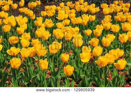 Yellow tulips blooming at the flower garden in Greenwich park of London UK