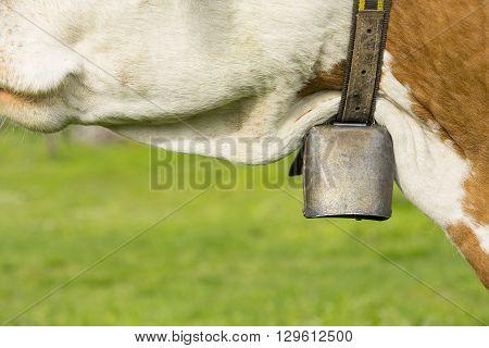 Cow is wearing a big metal bell.