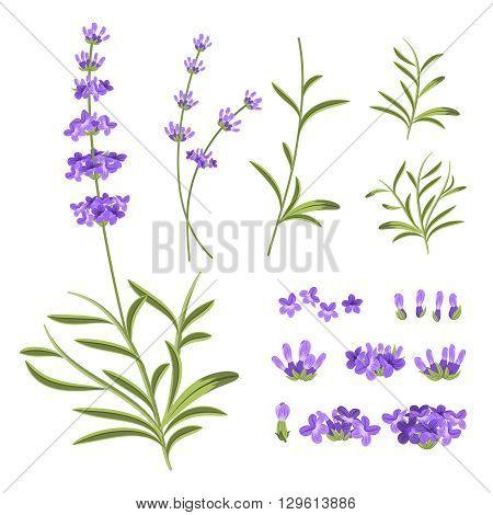 Lavender flowers vector elements. Illustration constructor for greeting cards and invitations. Flower lavender, nature lavender floral, plant purple lavender, blossom lavender violet