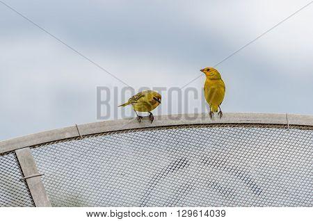Saffron Finch (sicalis Flaveola - Linnaeus)