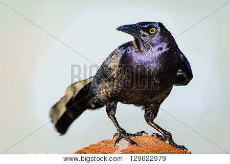 Male Great-Tailed or Mexican Grackle (Quiscalus mexicanus)