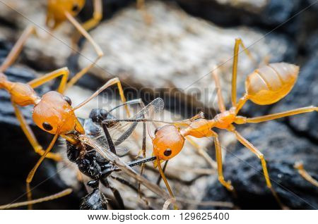 Ants work together as a team, work together diligently