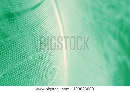 Bird feather closeup with focus of feather ridges