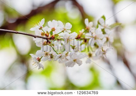 Closeup of white cherry flowers in spring time (shallow dof)
