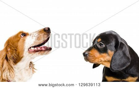 Portrait of a puppy breed Slovakian Hound and Russian Spaniel isolated on a white background