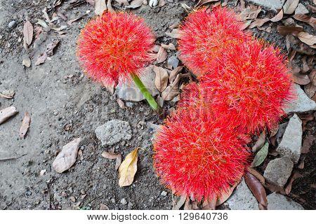 Haemanthus Multiflorus (tratt.) Martyn Or Blood Lily Bulb, Thailand