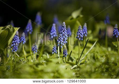 muscari - blue spring flowers (murine hyacinth)