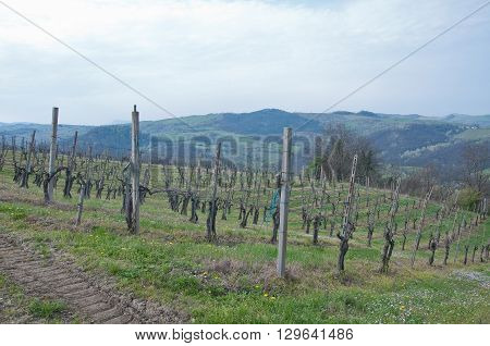 pinot noir vineyard located Oltrepo Pavese italy