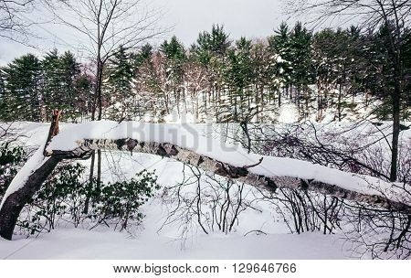 Birch with snow in forest in Upstate New York