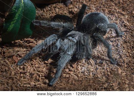 Adult female Brazilian black tarantula in captivity.