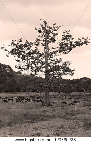 old ceiba on pasture in Central America