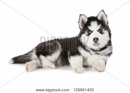 Two months old Siberian Husky puppy dog isolated on white background