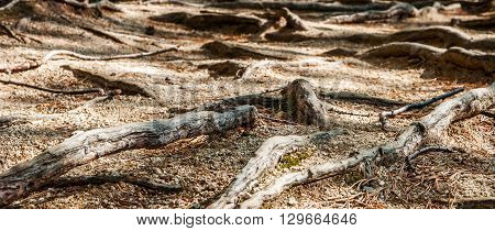 The picture was taken in a pine forest in the mountain resort of Borovoye in Kazakhstan. In the photo the roots of old pine trees which eventually came to the surface