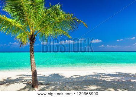 Single vibrant coconut palm tree on a white tropical beach of Maldives