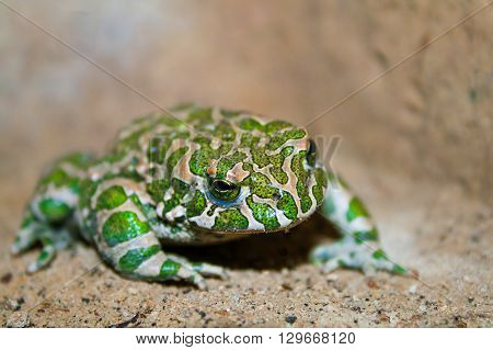 wild green toad closeup. Toad on sand