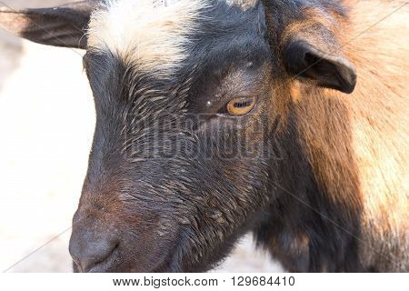 the Portrait of young goat in zoo