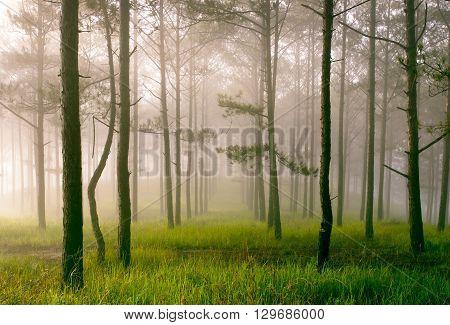 Beautiful landscape of pine jungle in morning fog, nice landscape for Dalat travel in Vietnam