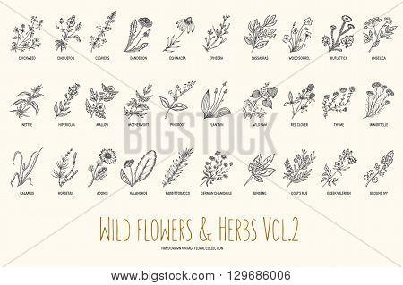 Wild flowers and herbs hand drawn set. Volume 2. Botany. Vintage flowers. Vector illustration in the style of engravings.