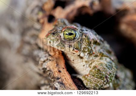 Frog with bulging green eyes in nature