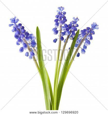 fresh muscari grape hyacinth flowers isolated on white background
