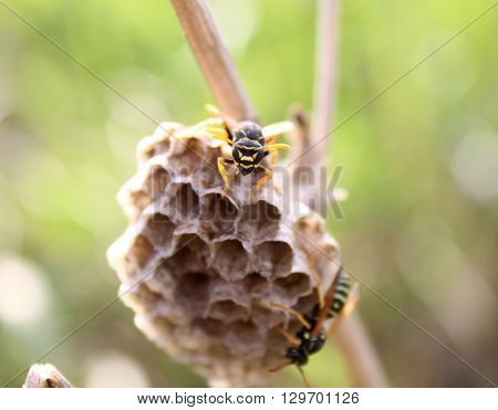 wasp sitting on a hornet's nest. macro photo of an insect