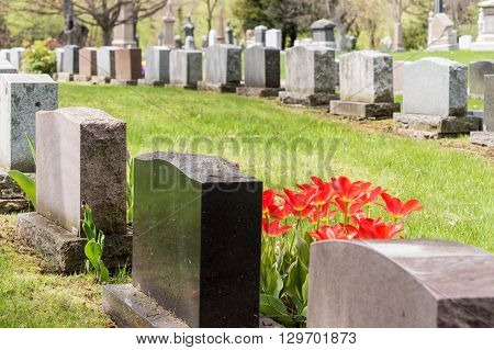 Headstones In A Cemetary With Many Red Tulips