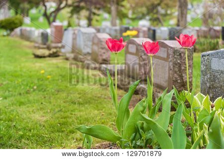 Headstones In A Cemetary With Three Red Tulips