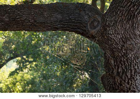 Spiderweb in oak tree glinting in sunshine