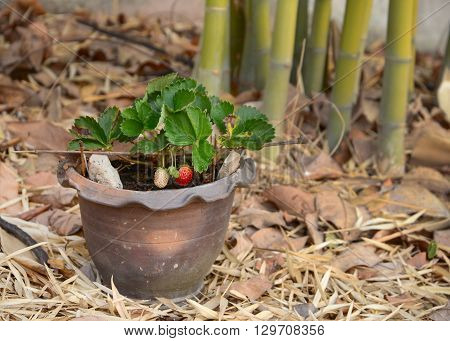 Growing Strawberries in Tropical Climates with an average temperature of 30c in Roiet Province Thailand