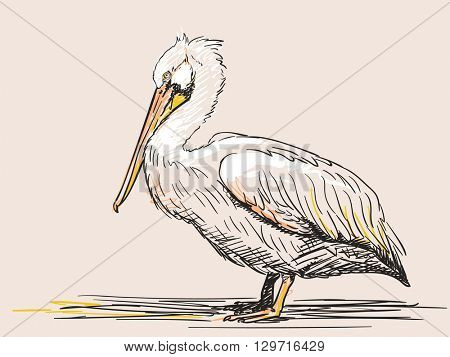 Hand drawn sketch of pelican