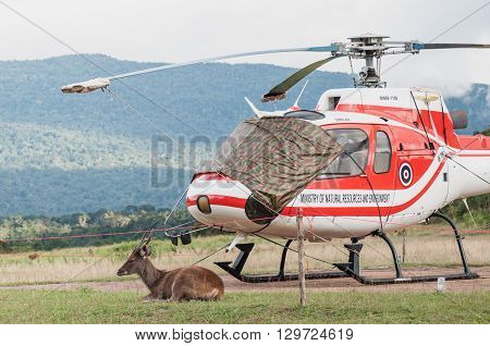 Nakornratchasrima Thailand - September 15 2012: One deer sits beside parked helicopter of Ministry of Natural Resources and Environment of Thailand on September 15 2013 in Khao Yai National part Nakornratchasrima Thailand