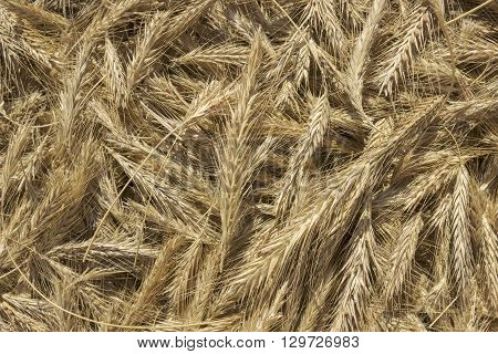 Heap of organic whole rye ears. Rye grains photo background. Dry rye vegetarian and organic food.