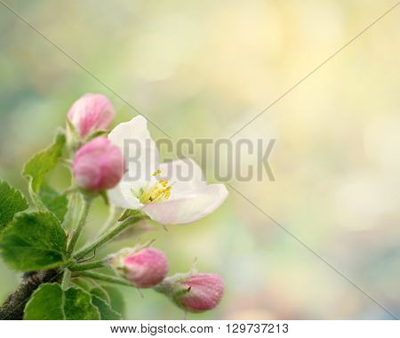 Dewy apple blossom. Spring macro photo with defocused background and copy space. May 2016.
