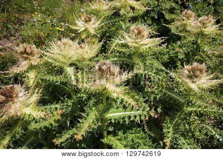 Spiniest Thistle (Cirsium Spinosissimum) in the Pennine Alps. Switzerland
